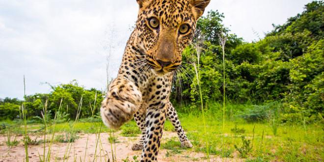 leopard1-660x330.jpg