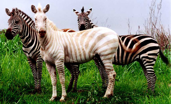 white-zebra.jpg