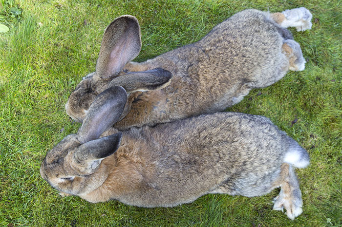 worlds-largest-rabbit-darius-jeff-3.jpg