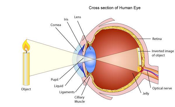 eye_xsection_01.jpg