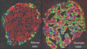 mouse_human_islets_300px.jpg