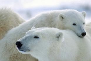 Tényleg napkollektor van a jegesmedvében?