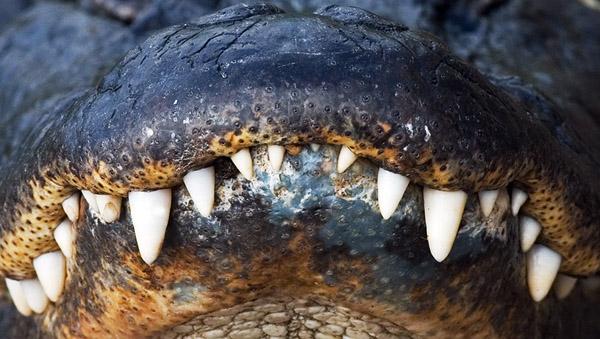 aligator1_.jpg