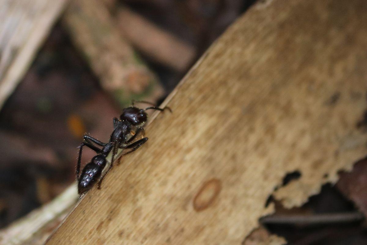 24 órás hangya - spanyolul hormiga bala (golyó hangya nyersfordításban) állítólag ez csíp akkorát, ami olyan mintha meglőnének<br />