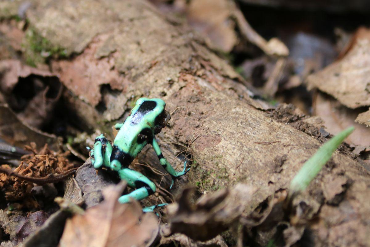 Diszkós béka - Green & black poison dart frog<br />