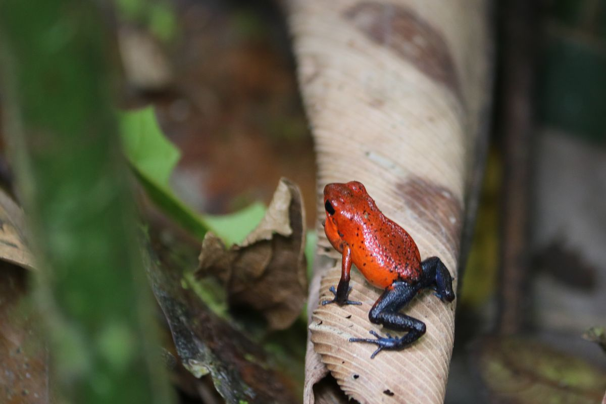 Nyílméreg béka - Strawberry poison dart frog<br />