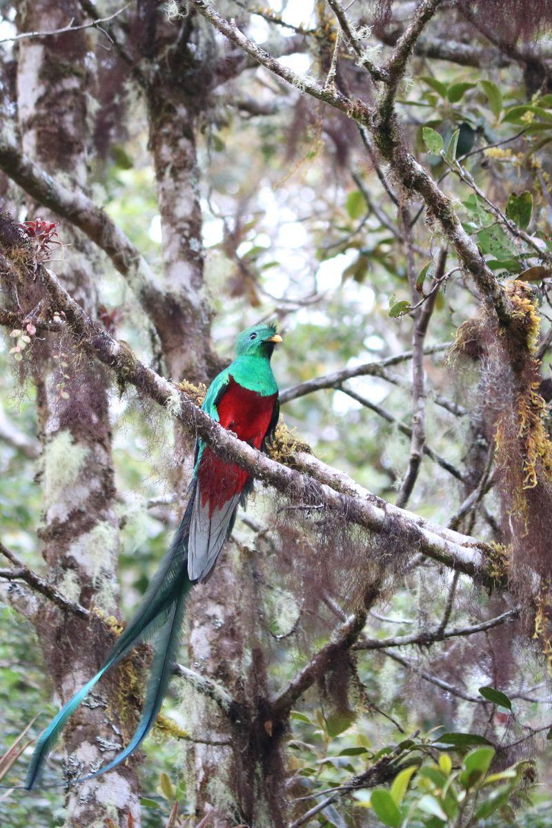A köderdők tukánja/lajhárja, a Resplendent Quetzal