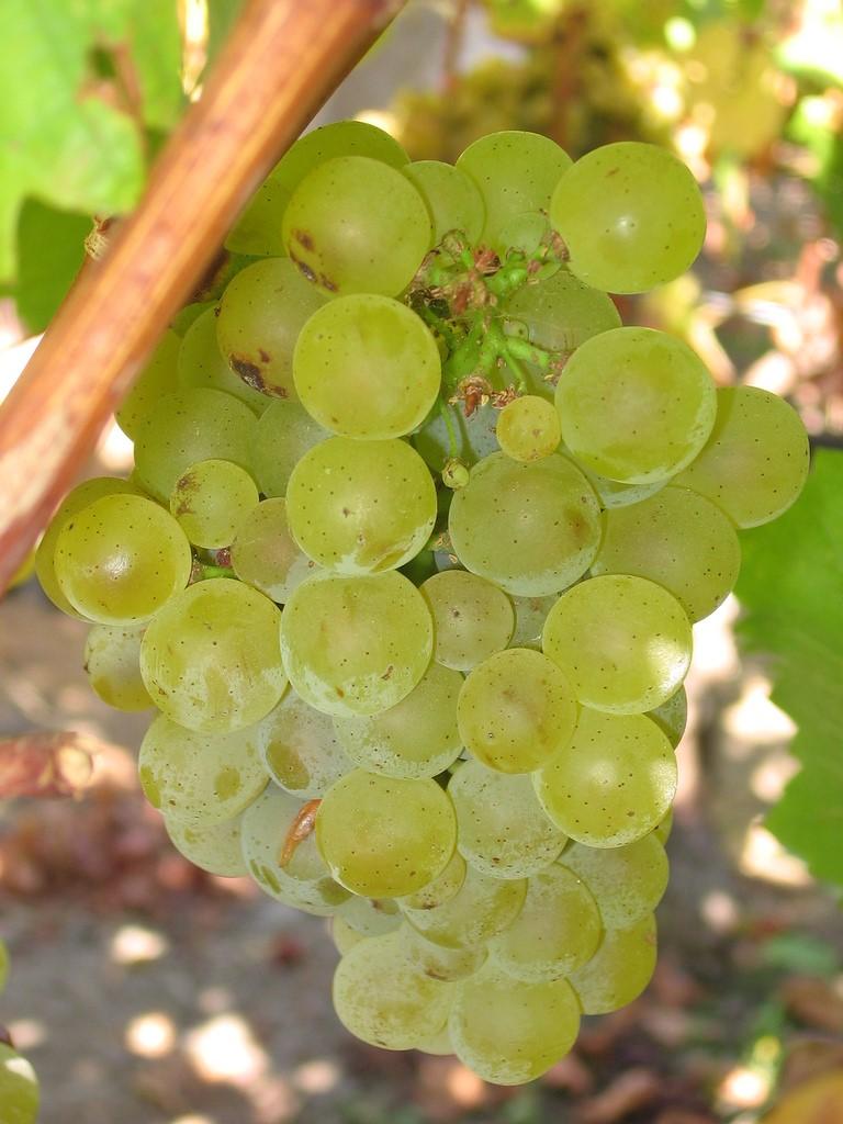 1sauvignon_blanc_grapes_2.jpg