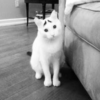 Sam, a szemöldökös macska