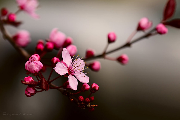 cherry_blossom_by_raylau-d4ve992.jpg