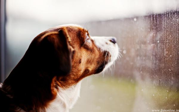 dog-watching-rainfall.jpg