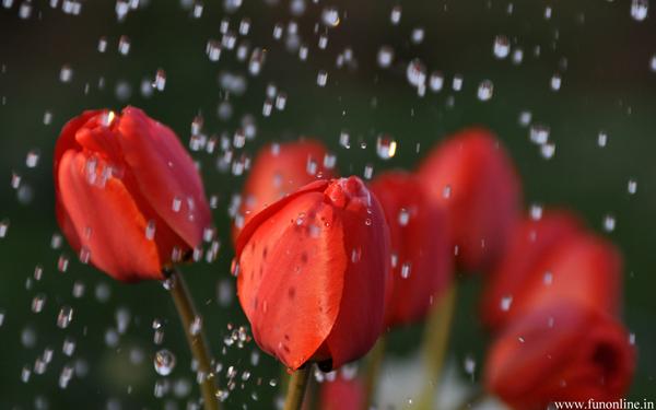 fresh-monsoon-tulip-flowers-wallpaper.jpg