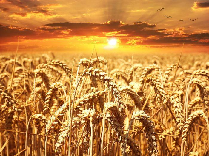 wheat-field-640960_1920_p.jpg