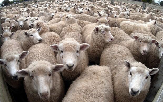 sheep_2724972b.jpg