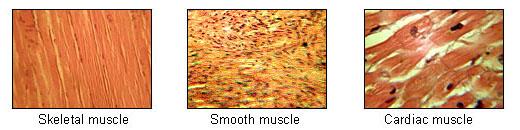 illu_muscle_tissues.jpg