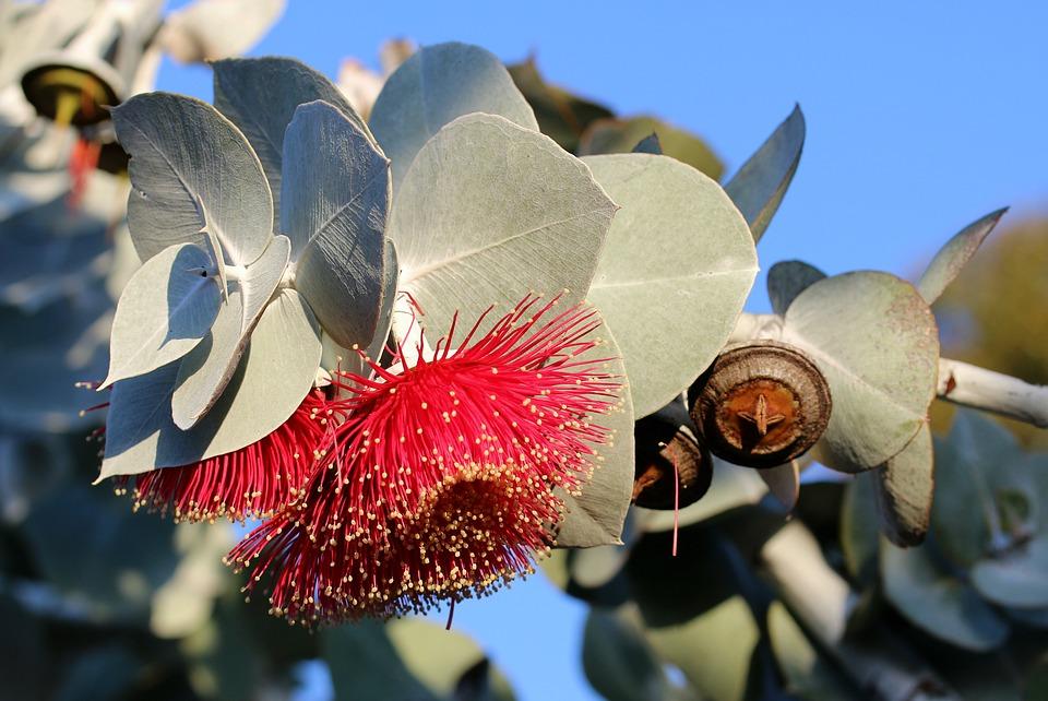 eucalyptus-3410621_960_720.jpg