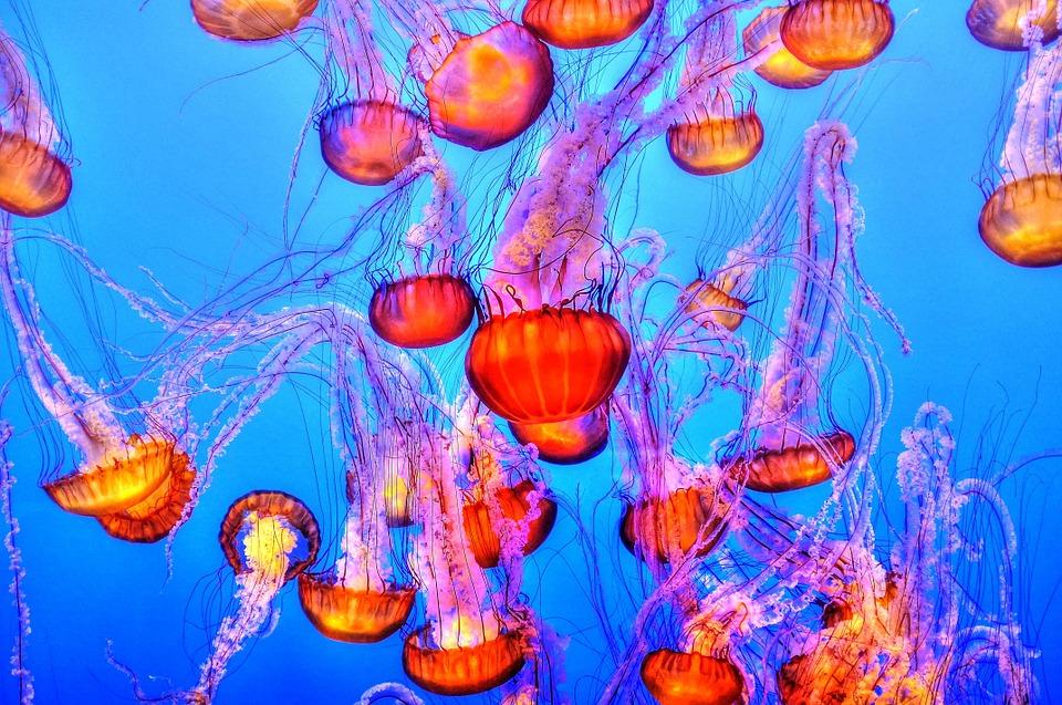 jellyfish-931714_960_720.jpg