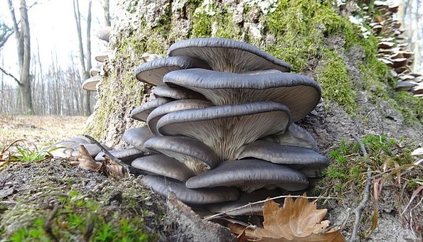 oyster-mushroom-landscapes-nature-autumn-wood-natu-4420.jpg