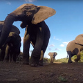 Elefántcsorda vs. GoPro
