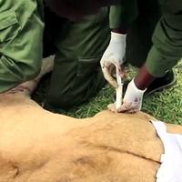 Szétkaszabolt oroszlánt mentettek Kenyában