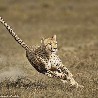 Melyik a világ leggyorsabb szárazföldi állata?