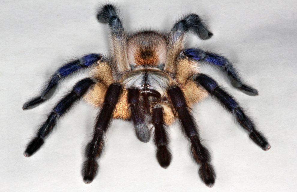 british-tarantula-society_80057_990x742.jpg