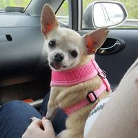 Bizsu - Puppia kutyahám