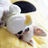 Haute Diggity Dog - Muttgarita kutyajáték