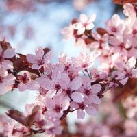 Parázna tavaszi bimbózás