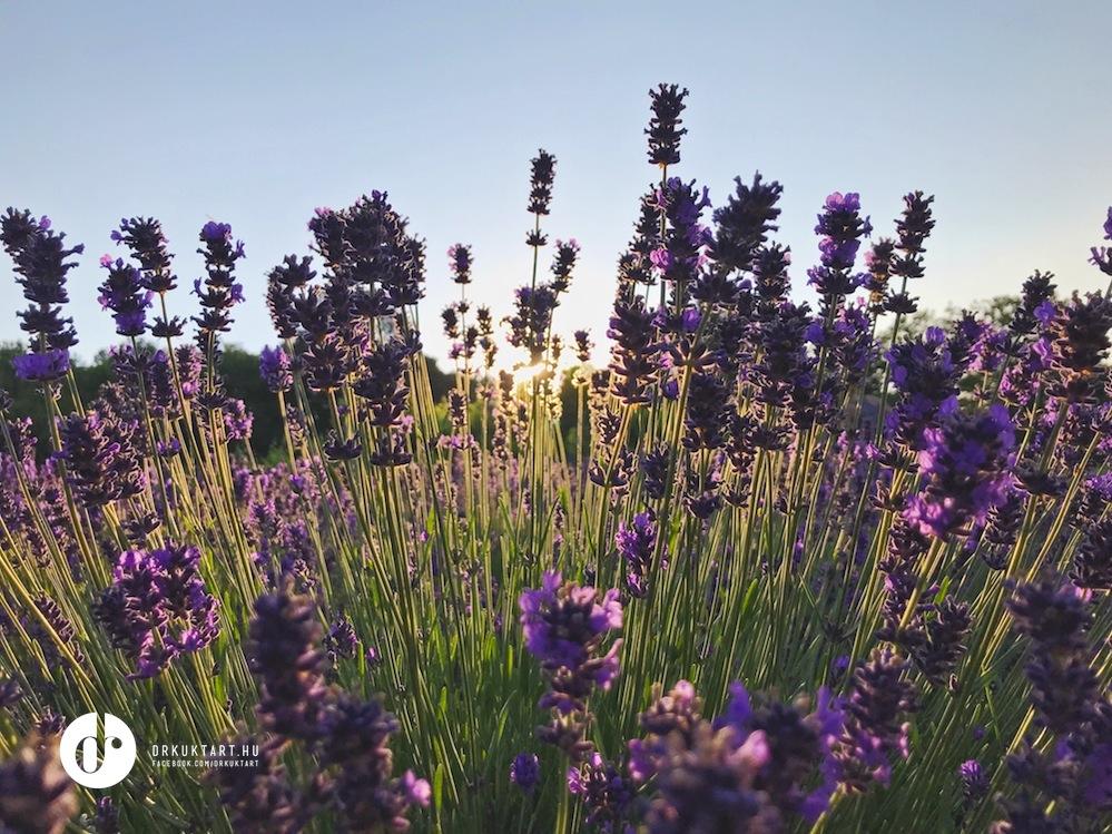 drkuktart_levendulaviragszorp_lavendersimplesyrup_02.JPG