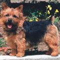 Norwitch és Norfolk terrier - az Ewok kutyák (FCI: 72; 272)
