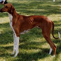 Azawakh (FCI: 307) - az anorexiás kutya