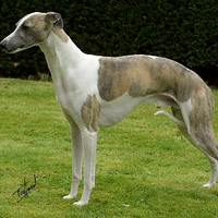 Whippet (FCI: 162)