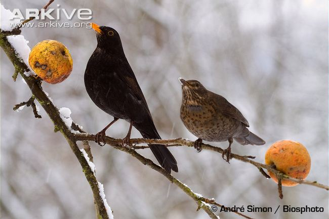 blackbird-male-and-female-feeding-on-apples.jpg