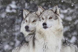 Fogadj örökbe egy farkast Karácsonyra!