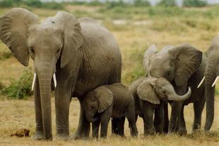 Napirenden az elefántok védelme