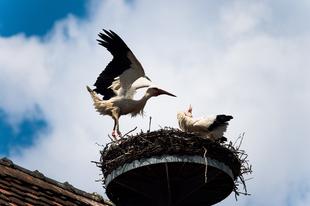 Állandó vendégek lesznek a gólyák Európában a globális felmelegedés miatt?