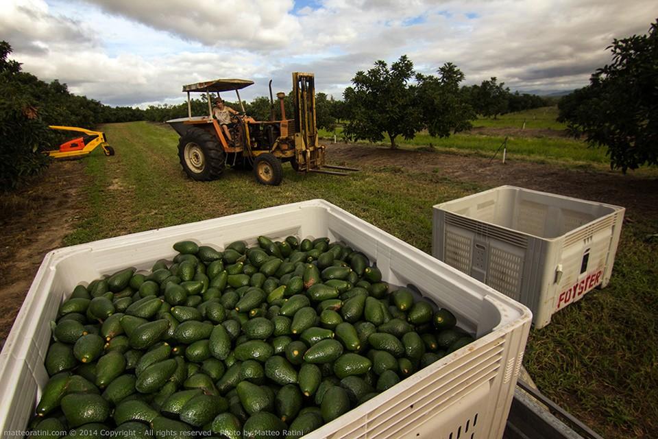 australian_avocado_farm-photo_by_matteo_ratini-04-960x640.jpg