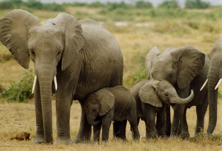 elephants_peter_knights.JPG