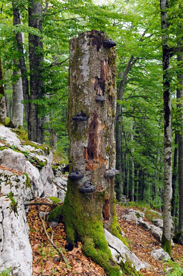 large-fir-snag-standing-dead-tree-full-wood-decay-fungi-important-part-forest-ecosystem-49595836.jpg