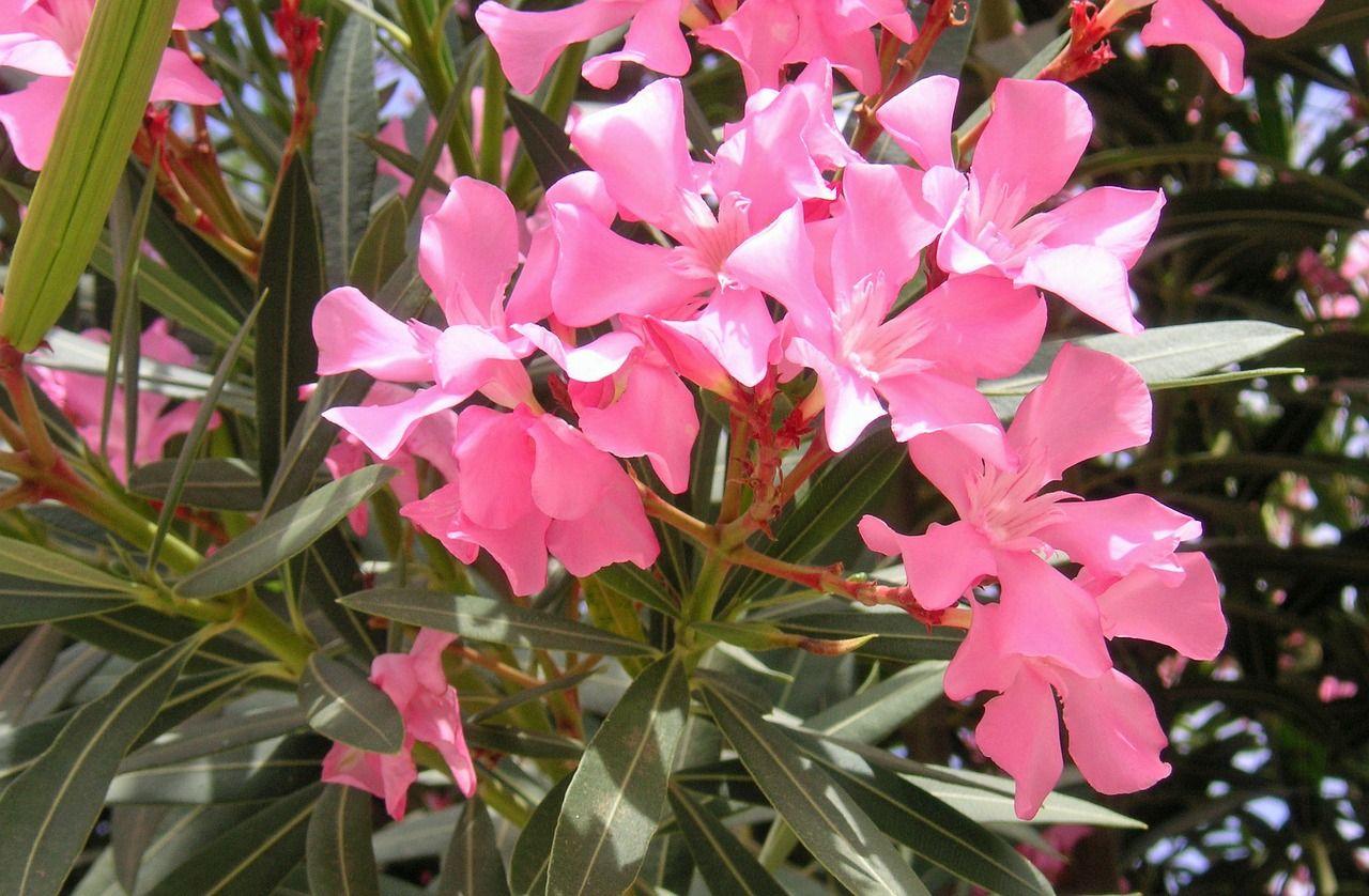 oleander-232666_1280.jpg