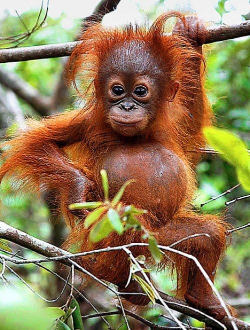 orangutan1.jpg