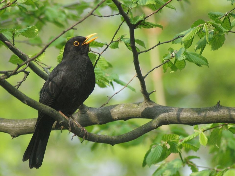 blackbird-2126845_960_720.jpg