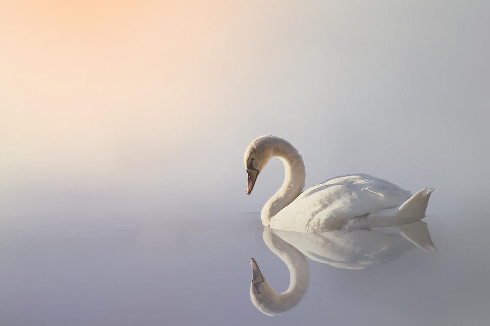 swan-3161142_960_720.jpg