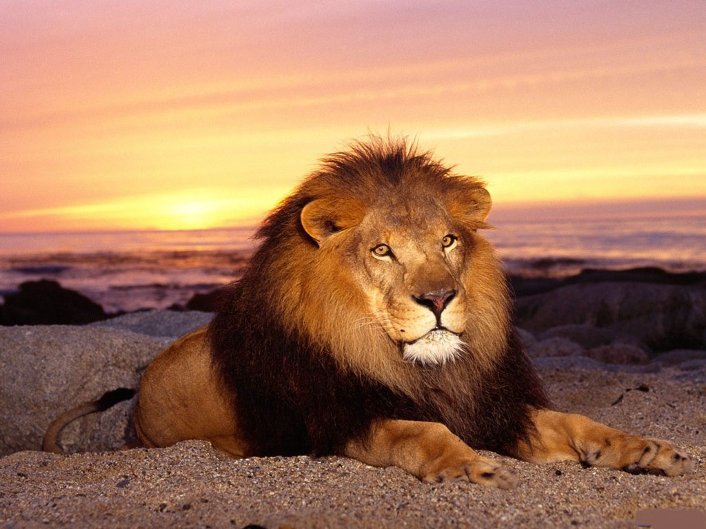 oroszlan_lion13.jpg