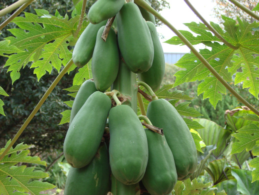 Papaya_fruit.JPG