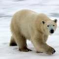 Szereted a jegesmedvéket?