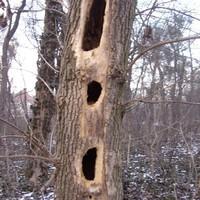 Egy odvas fa utolsó pillanatai