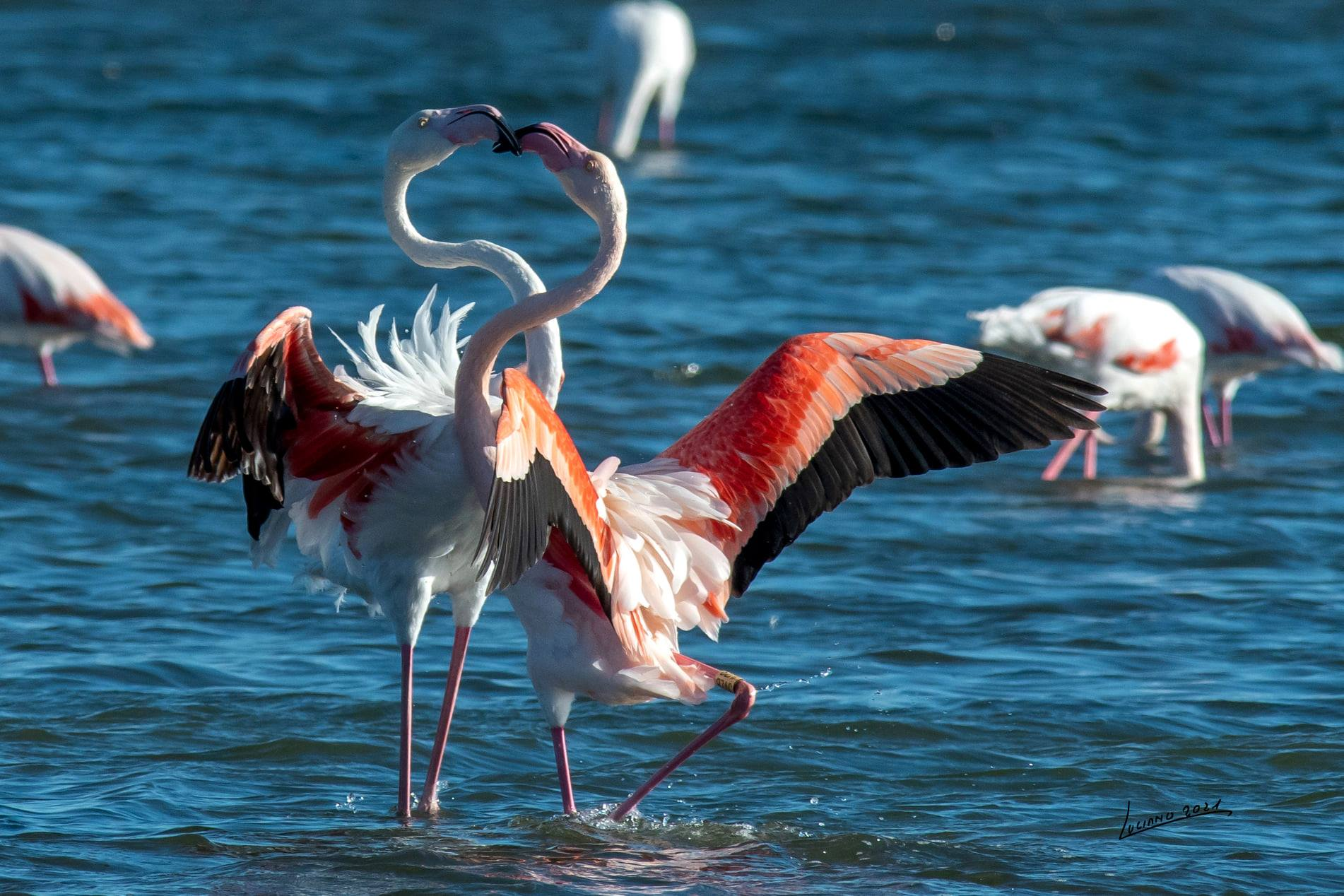 Táncoló és szerelmes flamingók a Nap szigetén