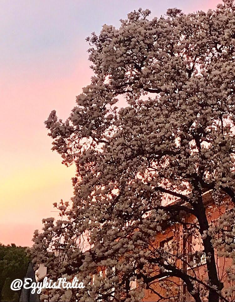 magnolia_fa.jpg